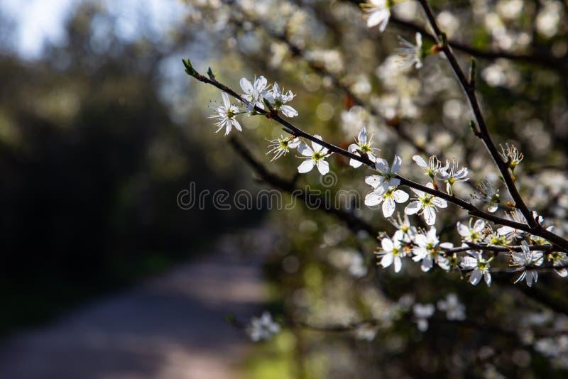 Chiuda su dei rami con i fiori bianchi e lo spazio della copia fotografia stock