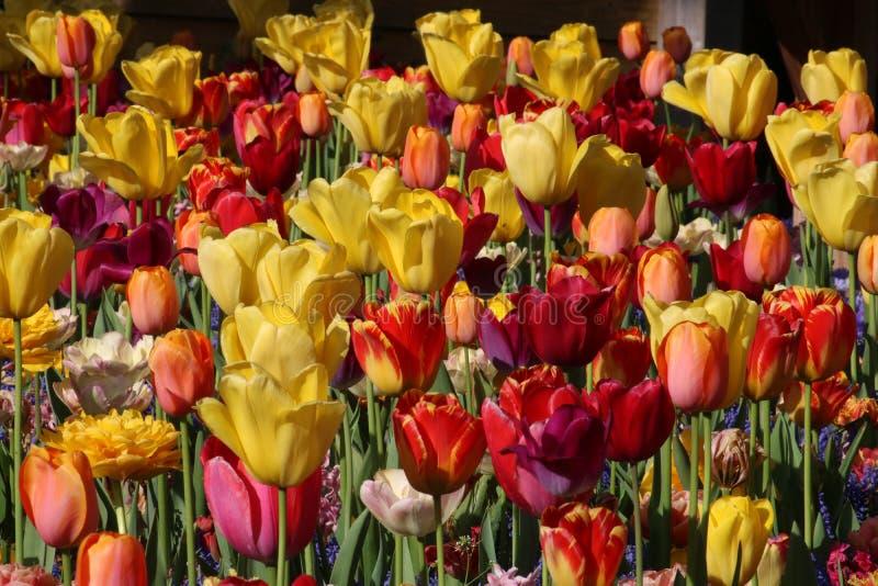 Chiuda su dei tulipani assortiti immagini stock libere da diritti