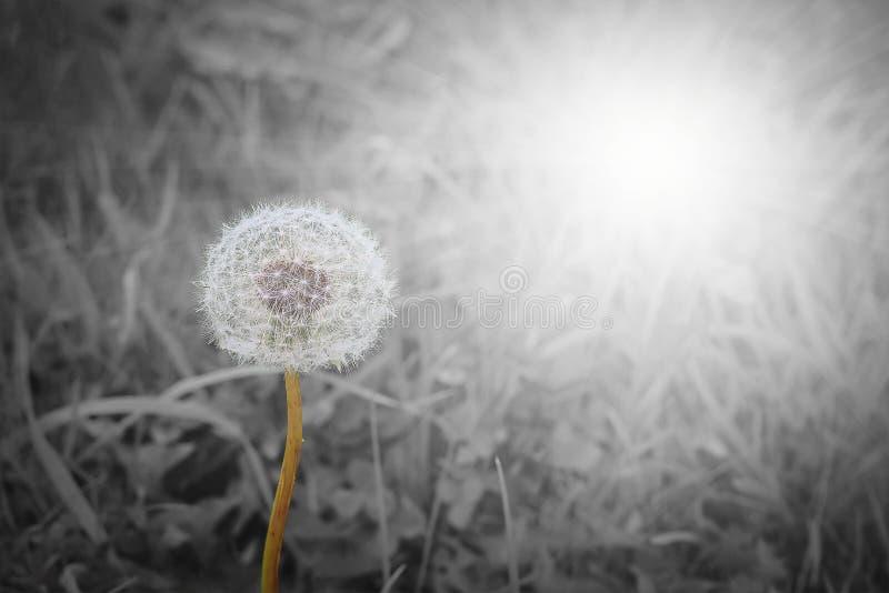 Chiuda su del blowball su sfondo naturale in bianco e nero con fotografia stock