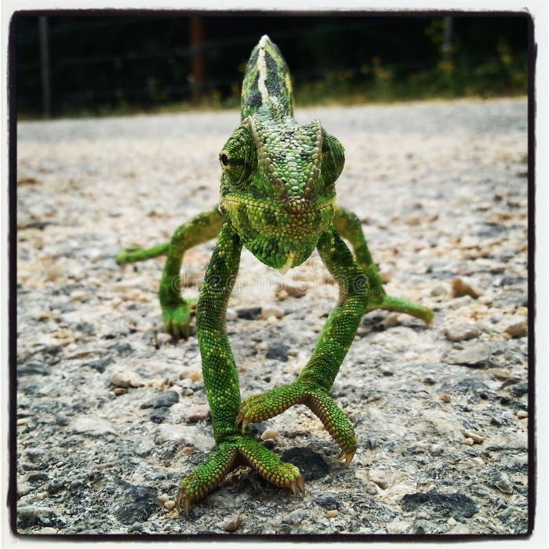 Chiuda su del camaleonte verde fotografia stock libera da diritti