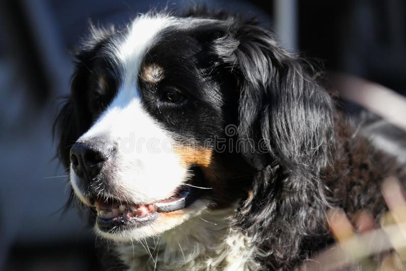 Chiuda su del cane della montagna del bestiame di Bernese, Germania fotografie stock libere da diritti