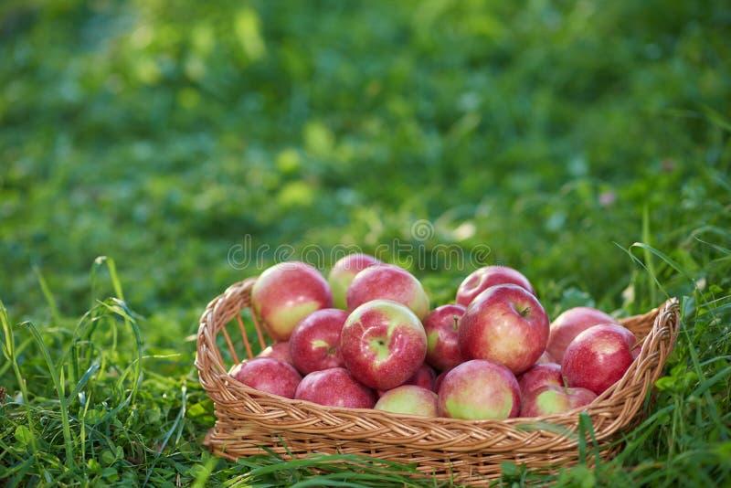 Chiuda su del canestro pieno della mela rossa fra erba verde immagine stock