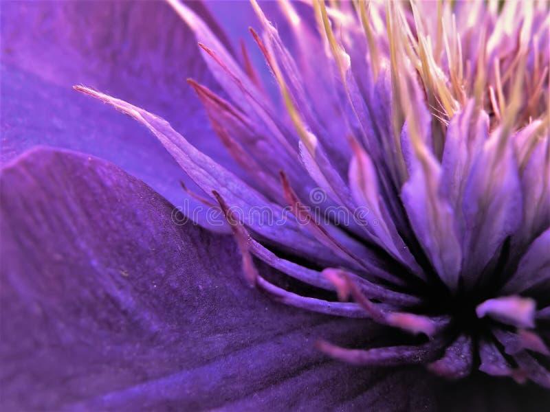 Chiuda su del centro di multi fiore blu della clematide fotografia stock libera da diritti