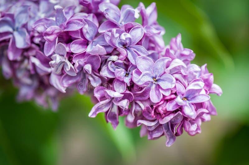 Chiuda su del cespuglio lilla porpora che fiorisce nel giorno di primavera fotografia stock