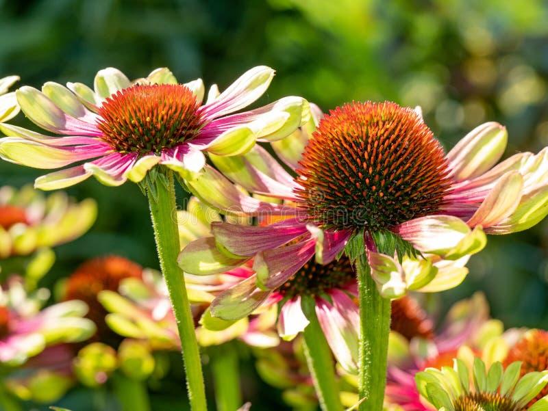 Chiuda su del coneflower o del pur porpora orientale di echinacea purpurea immagini stock
