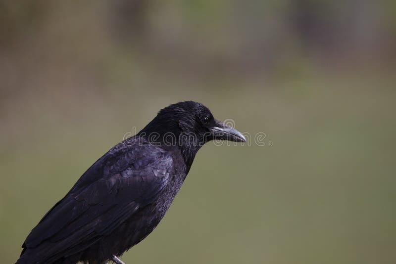 Chiuda su del corvo del corvo che si siede e che guarda fotografie stock libere da diritti