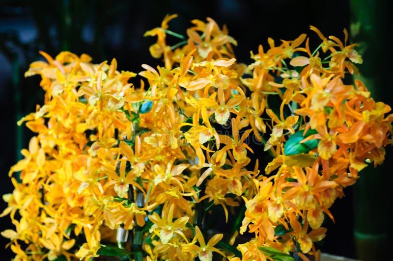 Chiuda su del fiore arancio dell'orchidea su fondo scuro fotografie stock libere da diritti