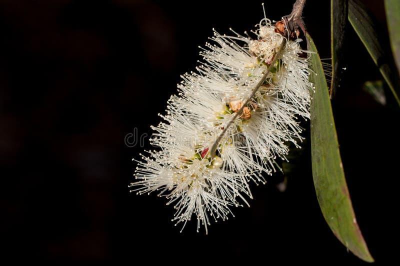 Chiuda su del fiore bianco di banksia, Sydney Australia fotografie stock