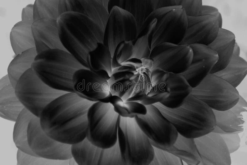 Chiuda in su del fiore in bianco e nero fotografie stock libere da diritti
