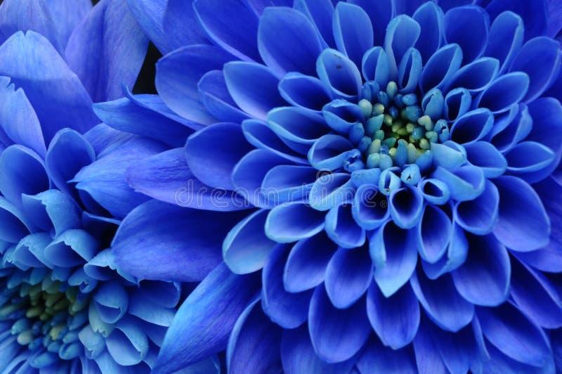 Chiuda in su del fiore blu fotografie stock libere da diritti