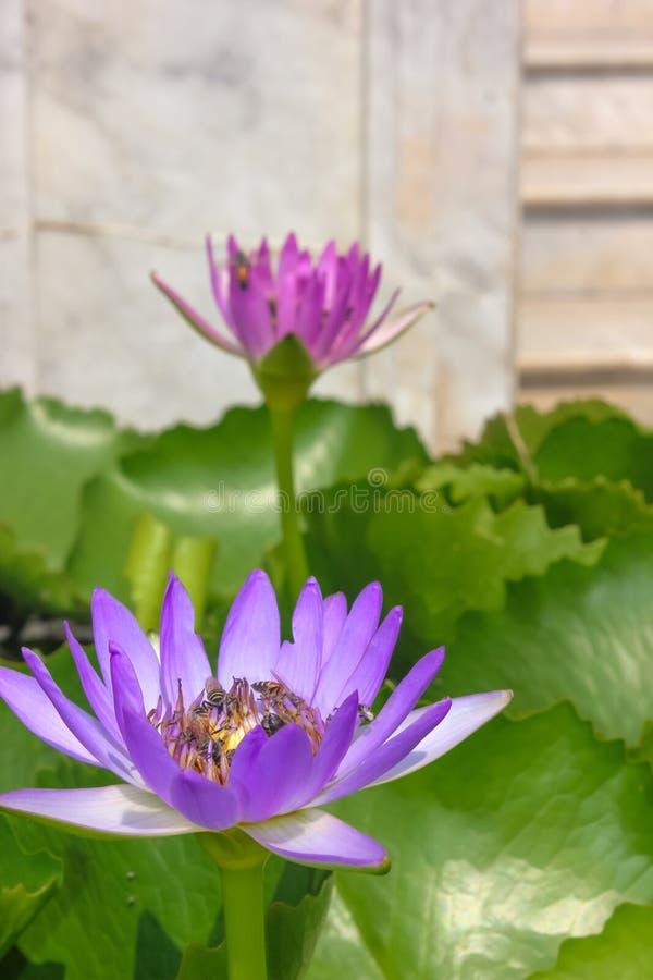 Chiuda su del fiore di loto porpora con parecchie api ha accatastato l'impollinazione immagini stock