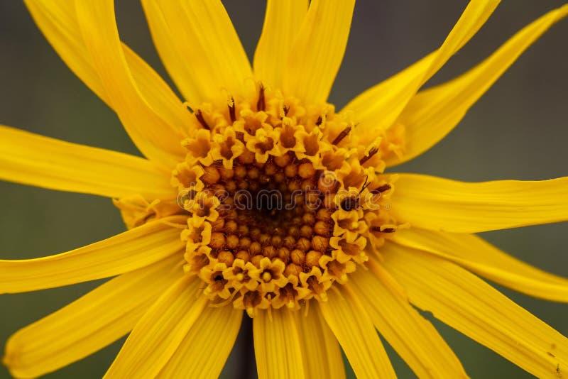 Chiuda su del fiore di Montana di arnica immagini stock libere da diritti