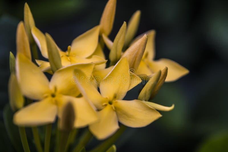 Chiuda su del fiore di Pentas Lanceolata di giallo del petalo immagine stock