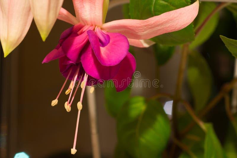 Chiuda su del fiore fucsia rosa fotografia stock libera da diritti