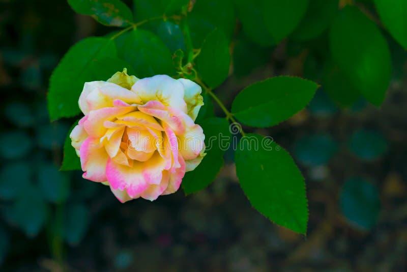 Chiuda su del fiore rosa bianco latteo, foglie verdi fotografia stock