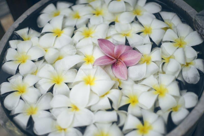 Chiuda su del fiore rosa di plumeria di franjipani che galleggia fra il fiore bianco sull'acqua in bacino di legno alla stazione  immagini stock libere da diritti