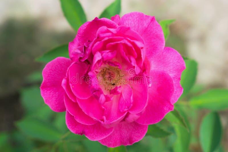 Chiuda su del fiore rosa rosa latteo, foglie verdi fotografia stock