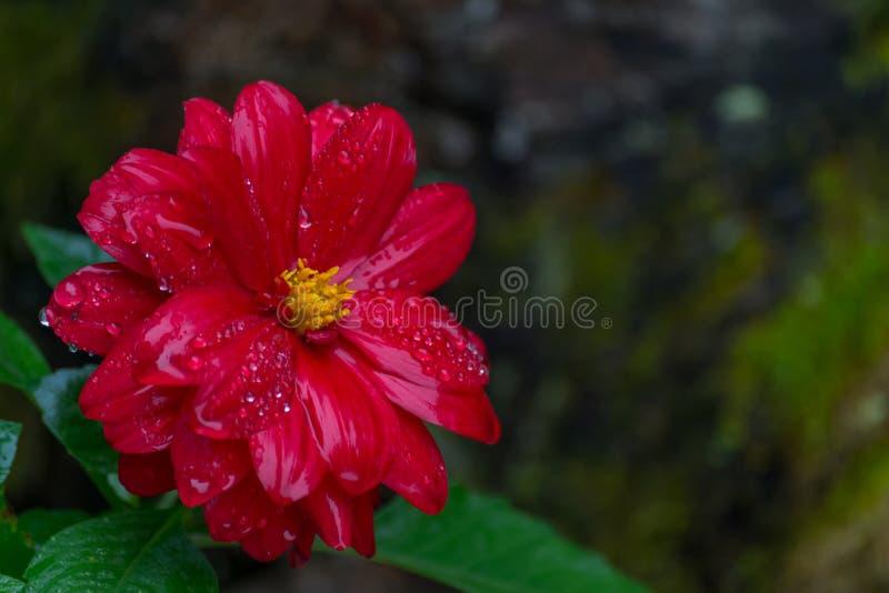 Chiuda su del fiore rosso di zinnia immagini stock