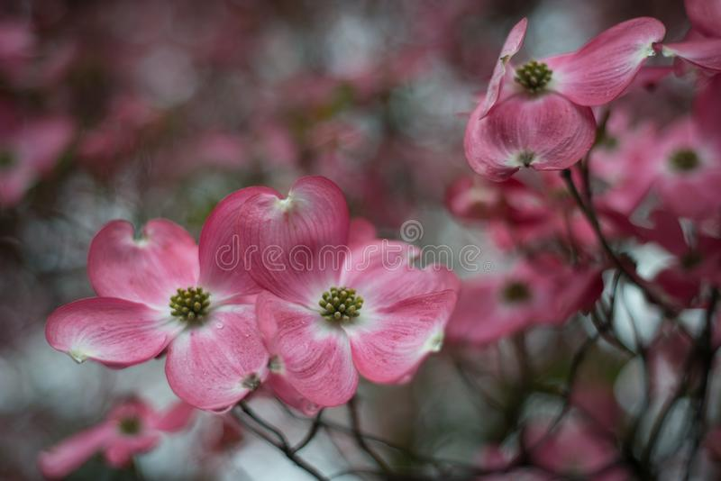 Chiuda su del fiore rosso, il cornus florida, gocce di pioggia immagine stock