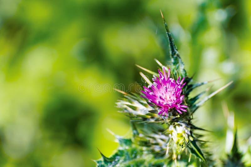 Chiuda su del fiore snello di tenuiflorus del Carduus del cardo selvatico; fondo vago; Area di San Francisco Bay orientale, Calif fotografia stock