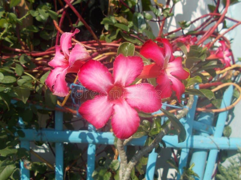 Chiuda su del fiore sulla pianta, adebium dell'azalea fotografie stock
