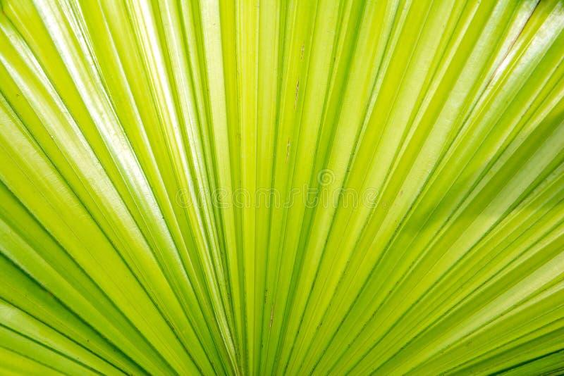 Chiuda su del fondo verde di struttura della foglia di palma dello zucchero immagine stock libera da diritti