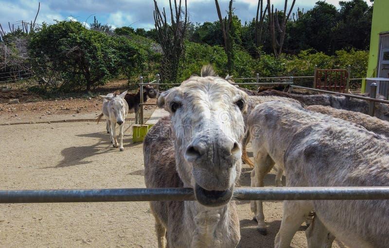 Chiuda su del fronte di un asino bianco in un recinto per bestiame fotografia stock libera da diritti