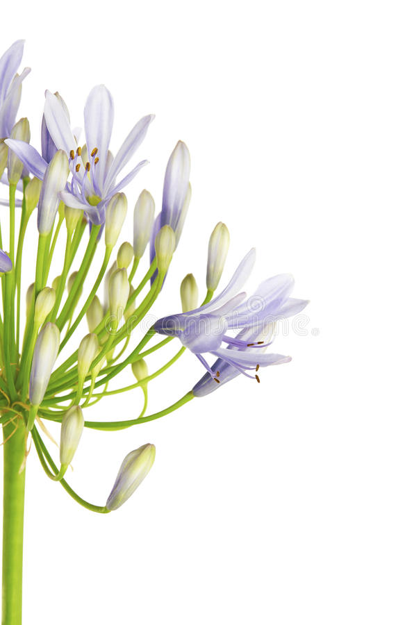 Chiuda su del giglio del ` del fiore di agapanthus del ` di Nilo, anche chiamato fiore del giglio dell'African Blue, in tonalità  fotografie stock