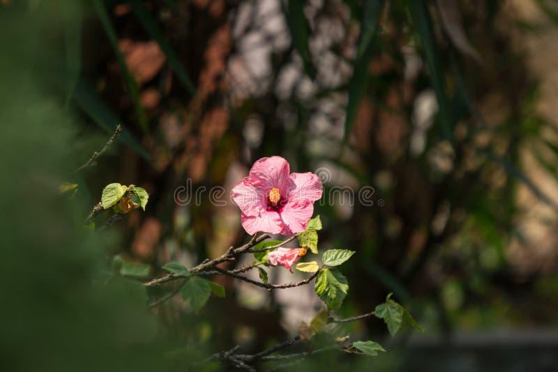 Chiuda su del hibiscus rosa sinensis rosa morbido fotografie stock libere da diritti