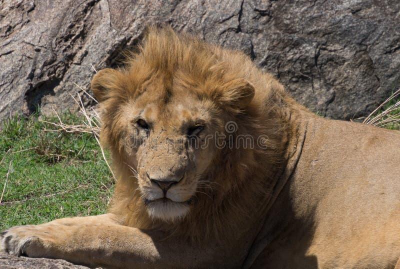 Chiuda su del leone maschio con molte cicatrici fotografia stock