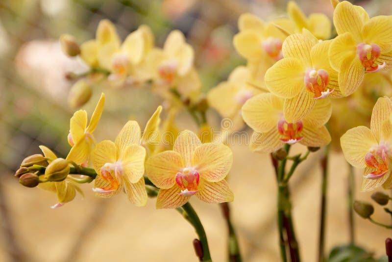 Chiuda su del mazzo delle orchidee con sfondo naturale, bello fiore di fioritura dell'orchidea nel giardino immagini stock