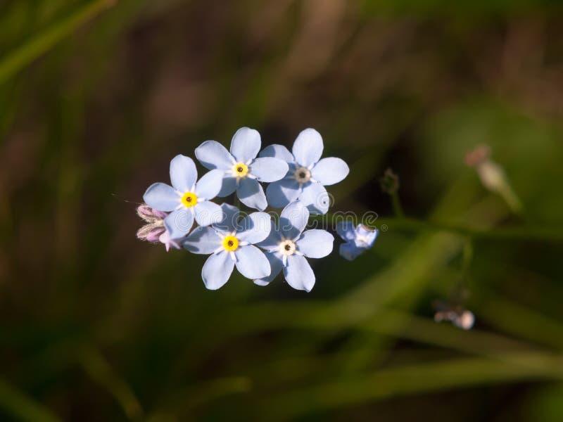 chiuda su del mazzo di fiori blu di legno di myosotis fotografia stock