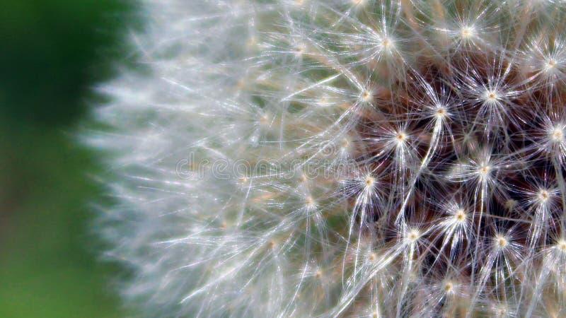 Chiuda su del mazzo del seme pronto ad essere soffiato da vento immagini stock libere da diritti