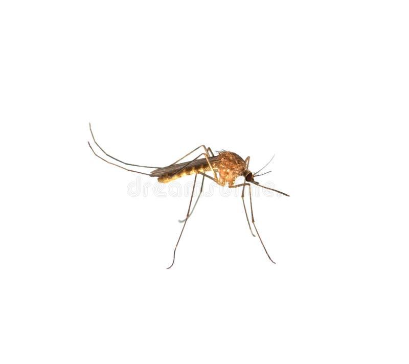 Chiuda in su del moquito isolato fotografia stock libera da diritti