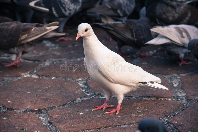 Chiuda su del piccione bianco su un parco fotografia stock libera da diritti