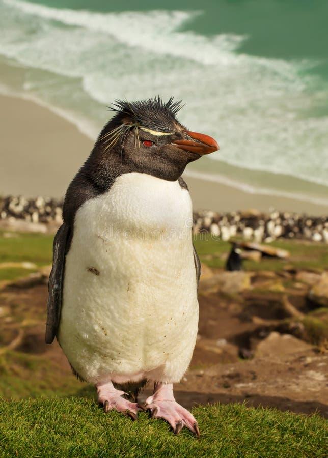 Chiuda su del pinguino del sud del rockhopper che sta su una collina ripida fotografia stock libera da diritti
