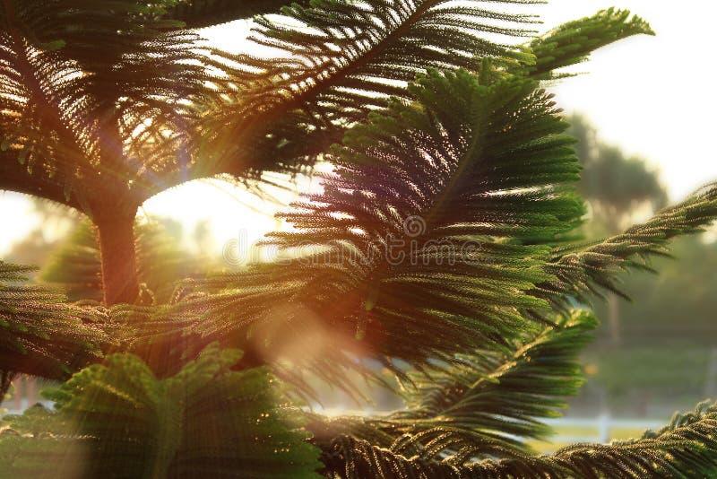 Chiuda su del pino verde con luce solare, i rami verdi del pino, il tramonto del fondo beautful della natura, modello per natale  fotografie stock