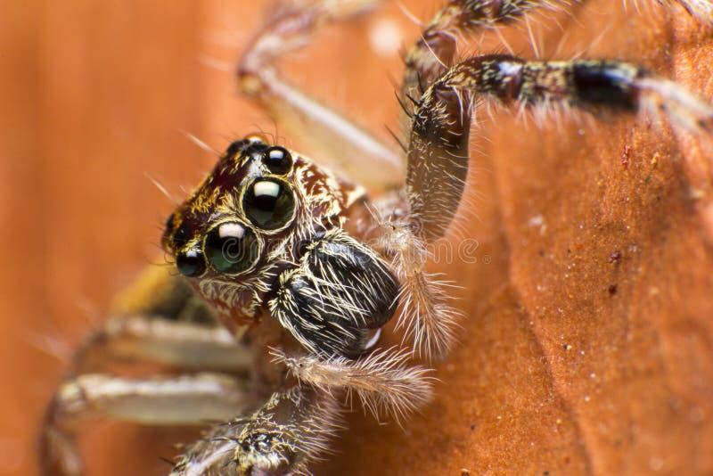 Chiuda su del ragno del saltatore sulla foglia asciutta in Tailandia fotografie stock libere da diritti