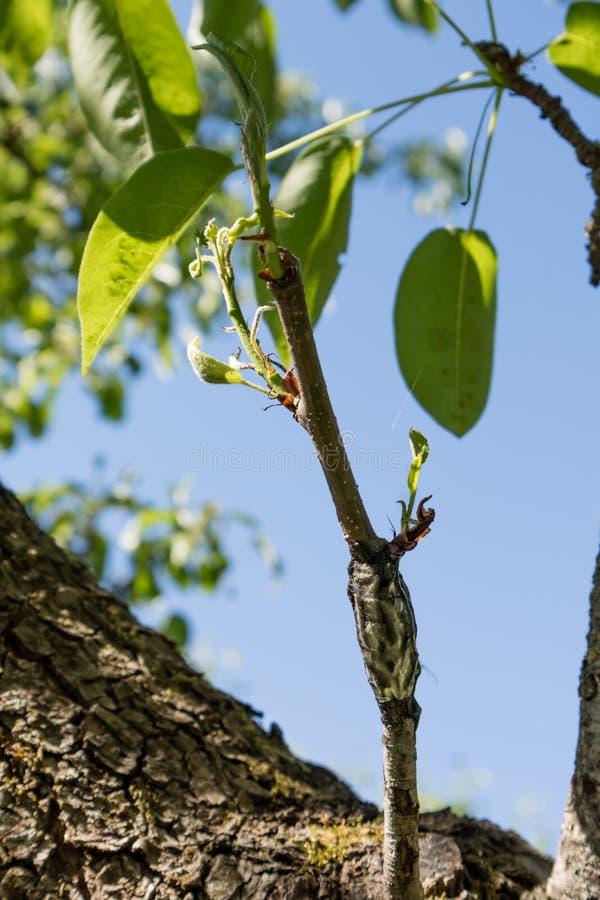 Chiuda su del ramo con fogliame innestato al tronco di albero immagini stock libere da diritti