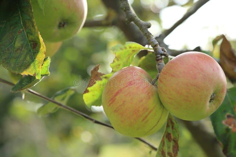 Chiuda su del ramo di melo con i frutti delle mele, cambiando dal verde al rosso immagini stock libere da diritti