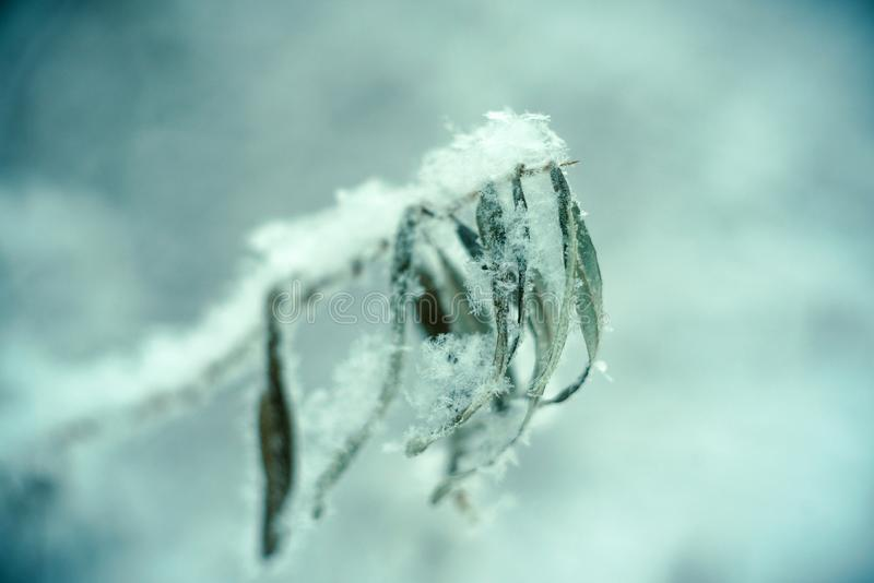 Chiuda su del ramo di pino nella neve Cenni storici della natura di inverno Fuoco selettivo molle L'annata ha tonificato la foto fotografia stock libera da diritti