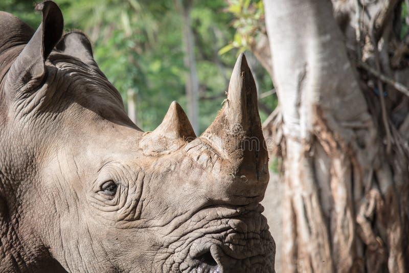Chiuda su del rinoceronte fotografia stock