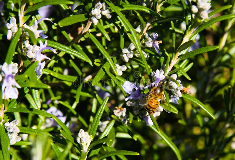 Chiuda su del rosmarinus officinalis di fioritura del cespuglio dei rosmarini in primavera fotografia stock