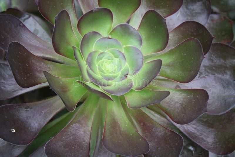 Chiuda su del succulente fotografie stock