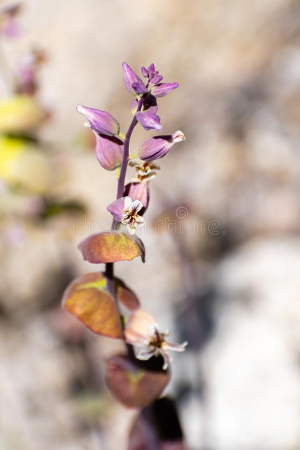 Chiuda su del tortuosus di Jewelflower Streptanthus delle montagne che fiorisce all'alta elevazione in parco nazionale di Yosemit fotografia stock