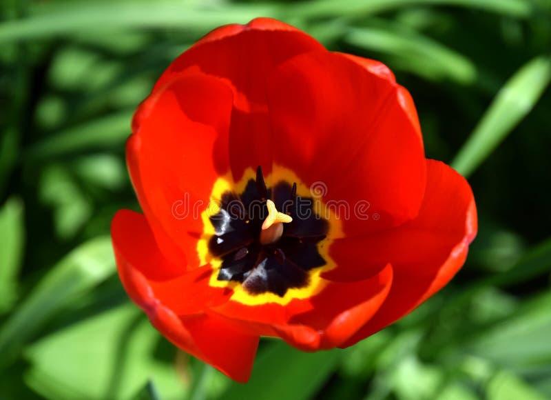Chiuda in su del tulipano rosso fotografie stock libere da diritti