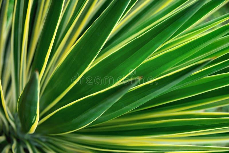 Chiuda in su del Yucca fotografia stock libera da diritti