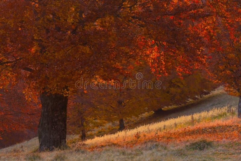 Chiuda su dell'albero rosso delle foglie in un giorno di autunno durante il tramonto immagini stock libere da diritti