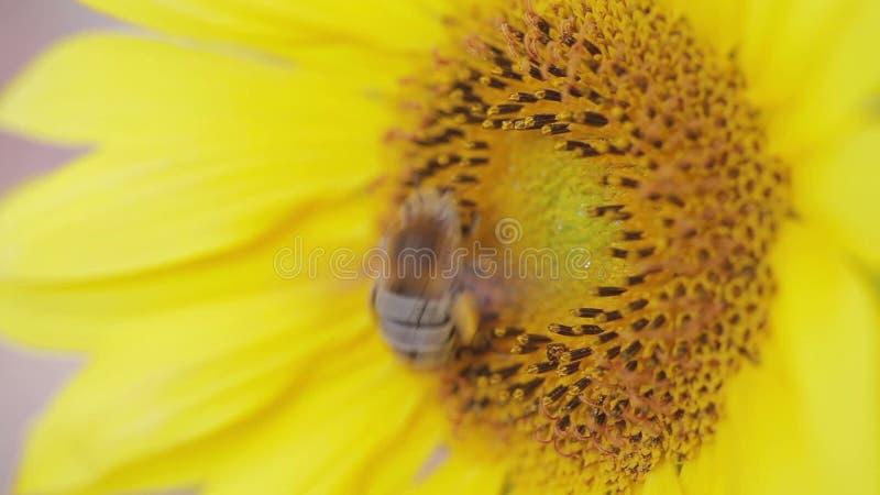 Chiuda su dell'ape sul miele ricco di raccolto del girasole video d archivio