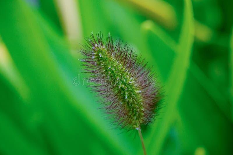 Chiuda su dell'erba di coda di volpe verde con i suggerimenti della porpora con il fondo vago dell'erba verde Inoltre conosciuto  immagine stock libera da diritti